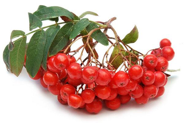 гроздь красной рябины