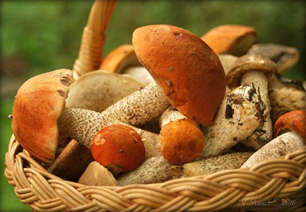 гриб подосиновик фото и описание